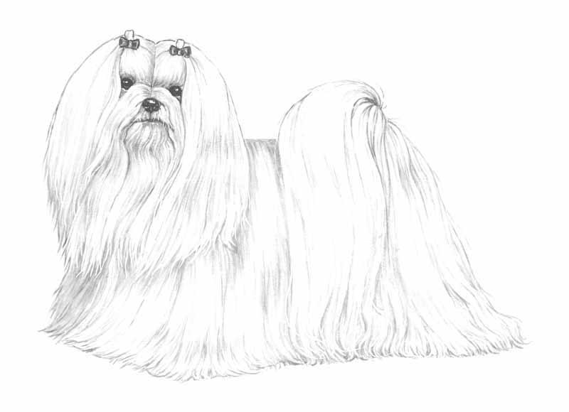 Maltese - Cane da colorare le pagine libero ...