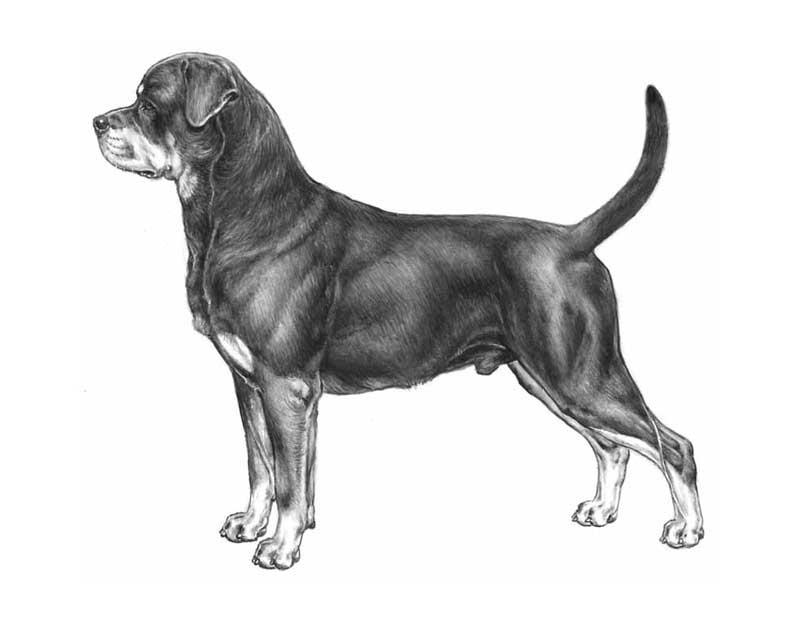 147 Standard del Rottweiler Cinognostica