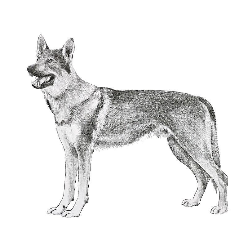 Cane da lupo cecoslovacco for Cane disegno da colorare